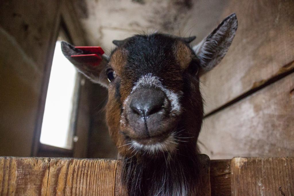 ranch_okuje_konji_koze_životinje_katd-48